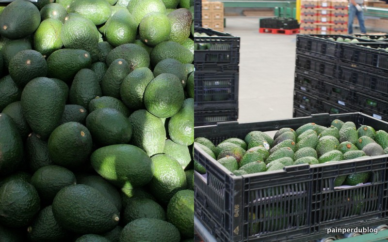 Avocados from Bin to Conveyor Belt