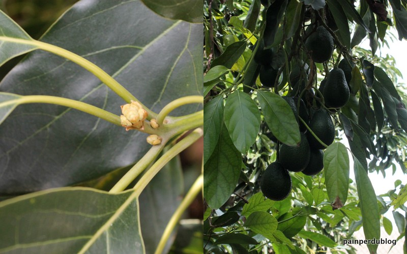 Avocado Buds and Fruit